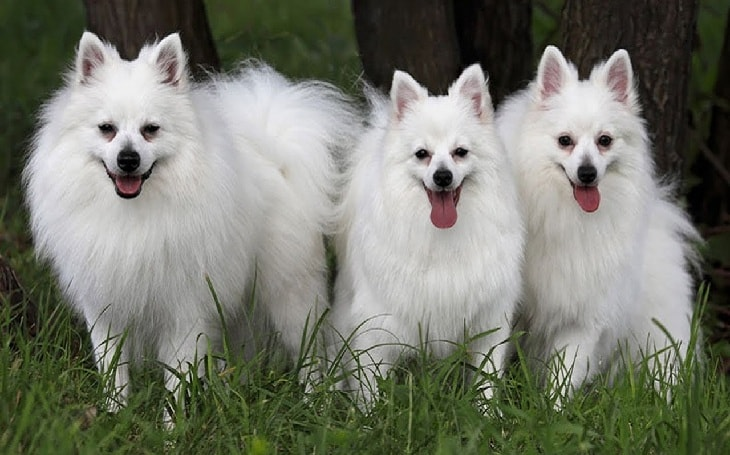 Three white dogs standing together.
