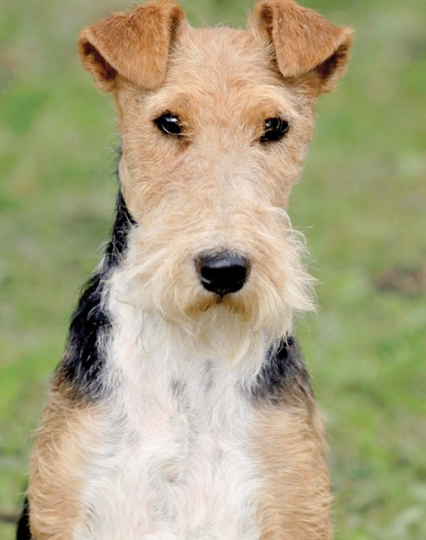 Wire Fox Terrier similar breed to Smooth Fox Terrier