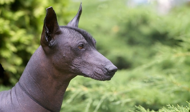 Xoloitzcuintli which is similar to Peruvian Inca Orchid