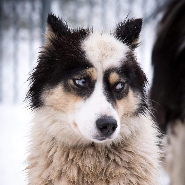Yakutian Laika which is similar to Siberian Husky