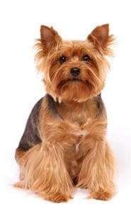 Yorkshire which is similar to Silky Terrier