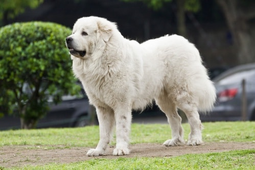 great Pyrenees which is similar to Romanian Mioritic Shepherd