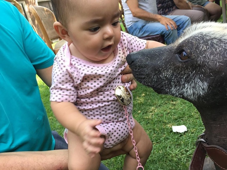 Xoloitzcuintli is child friendly