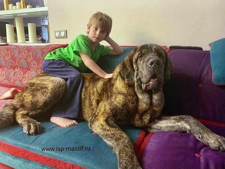 Spanish Mastiff is child friendly
