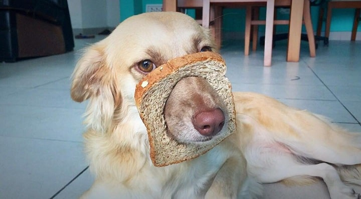 A dog putting his muzzle ina bread slice