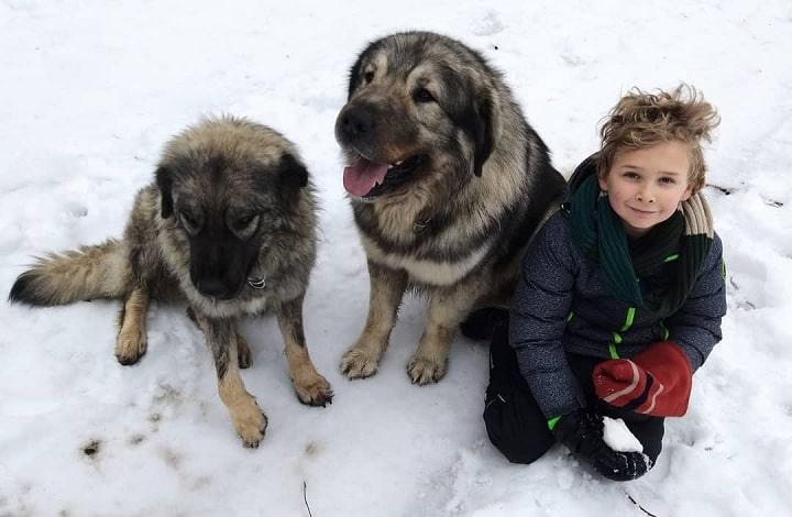 Yugoslavian Shepherds do well with older children