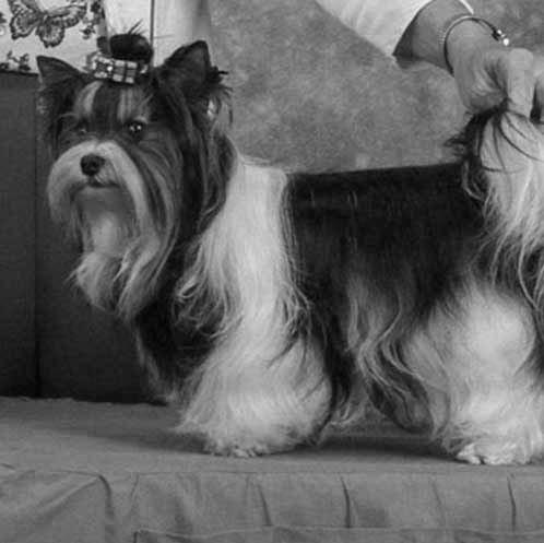 Biewer Terrier history