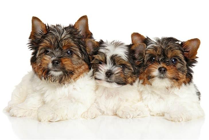 Biewer Terrier puppy cost