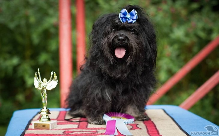 Russkaya Tsvetnaya Bolonka IS Known As Toy Breed