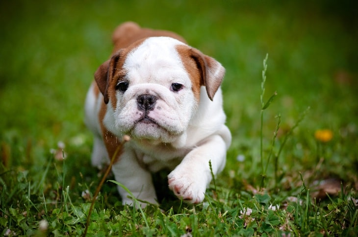 AKC Marketplace - Buying and Selling Dogs | Rules and