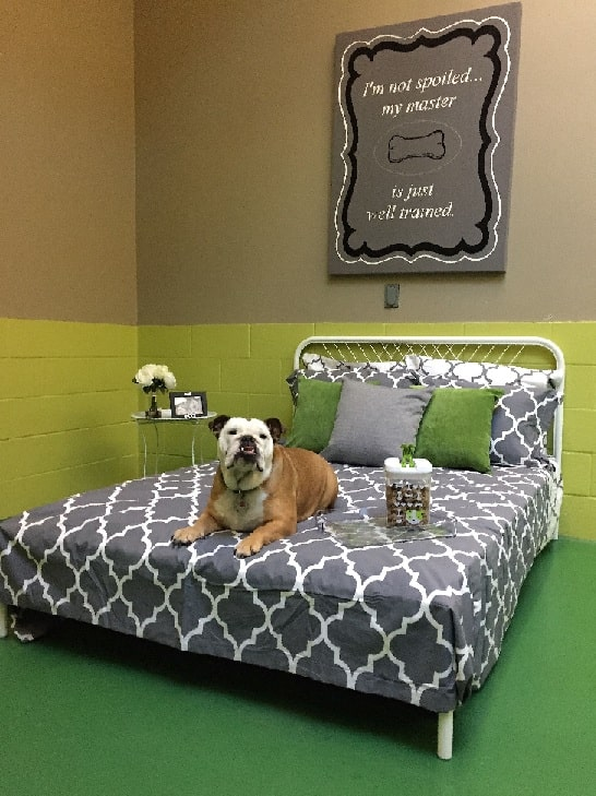 Bulldog sitting on a hotel bed
