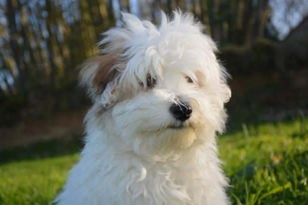 Coton de Tulear crossed bred with Yorkshire Terrier