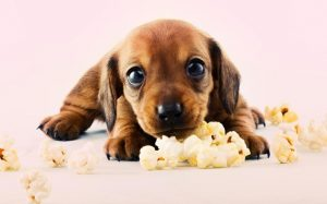 A cute puppy with popcorn.