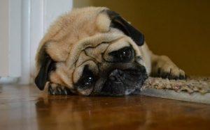 A Pug lying.
