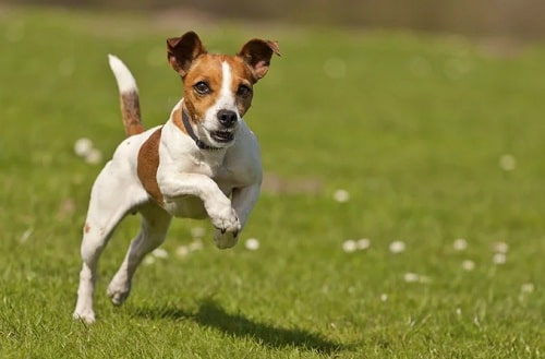 Jack Russell cross bred with Yorkshire Terreir