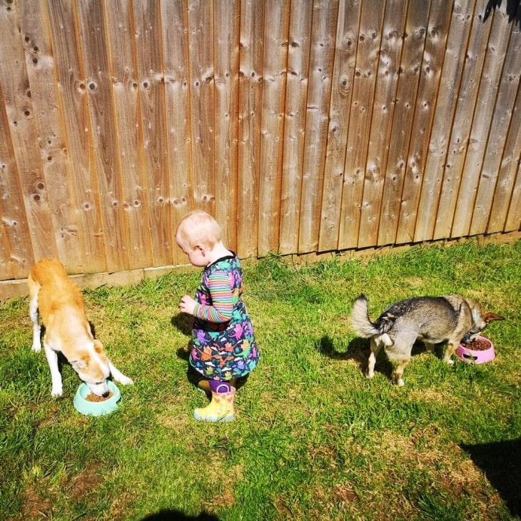 Swedish Vallhund Is gentle With Kids.