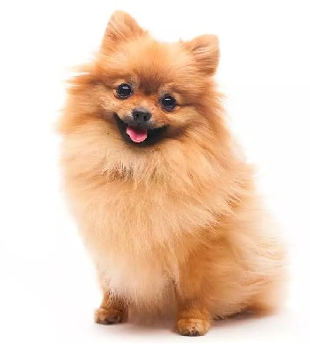 Pomeranian crossed with the Yorkshire Terrier