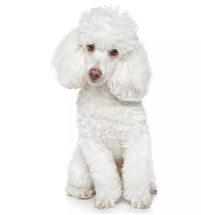 Poodle crossed bred with Yorkshire Terrier