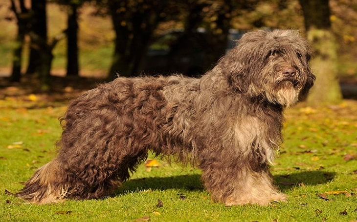Portuguese Sheepdog behavior and personality