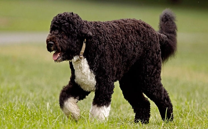 Portuguese Water Dog personality and behavior