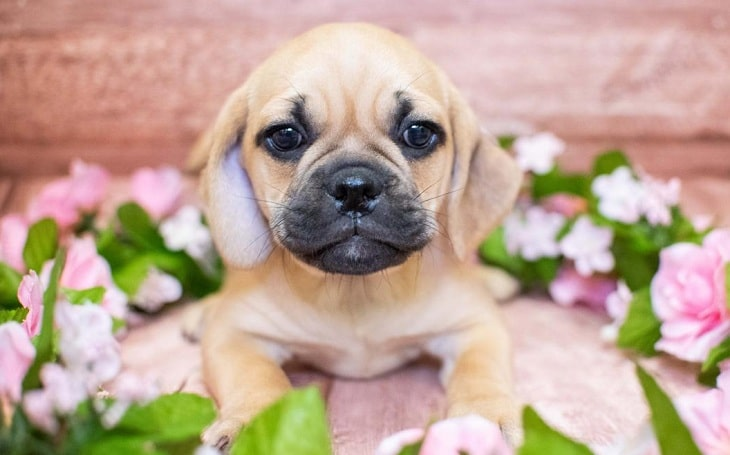 A cute puggle puppy around flowers.