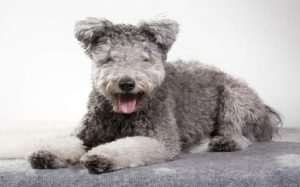 Pumi personality and temperament