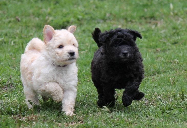 Pumi puppies running