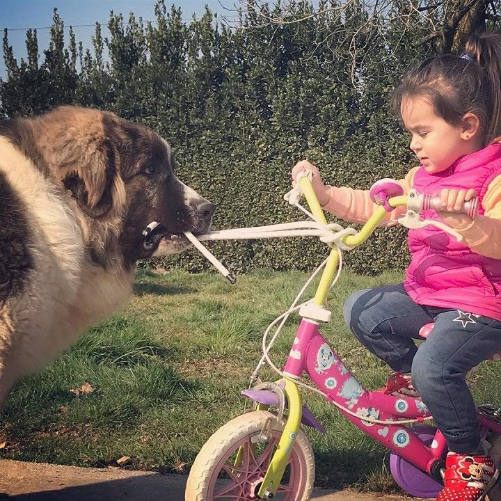 Pyrenean Mastiff is child friendly