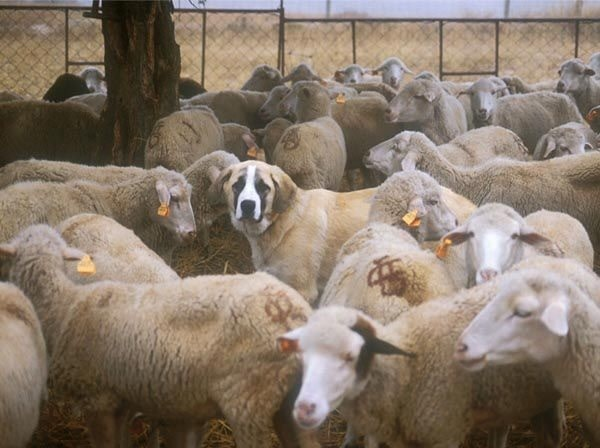 Rafeiro do Alentejo is a herding dog
