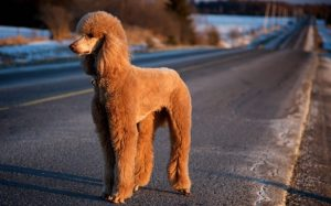 A beautifull Red Poodle standing on a road.
