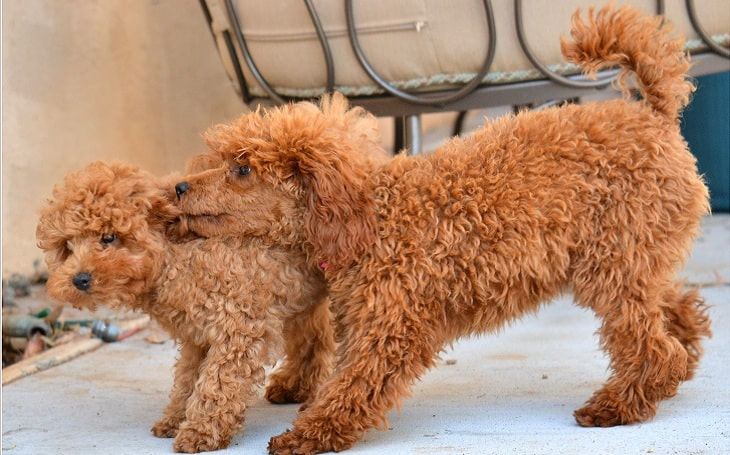 Two red poodle pups playing with each other.