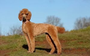 A beautiful red poodle standing.