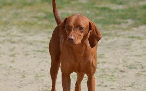 Redbone Coonhound Information