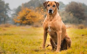 Rhodesian Ridgeback temperament and behavior