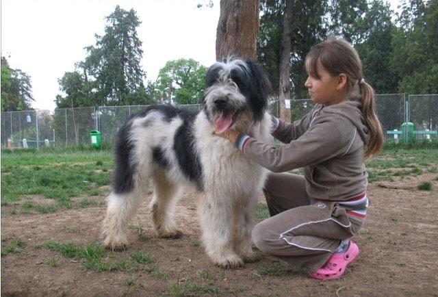 Romanian Mioritic Shepherd is child friendly