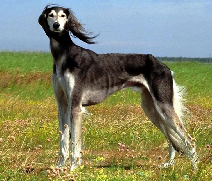 Saluki  Are Active Outdoors