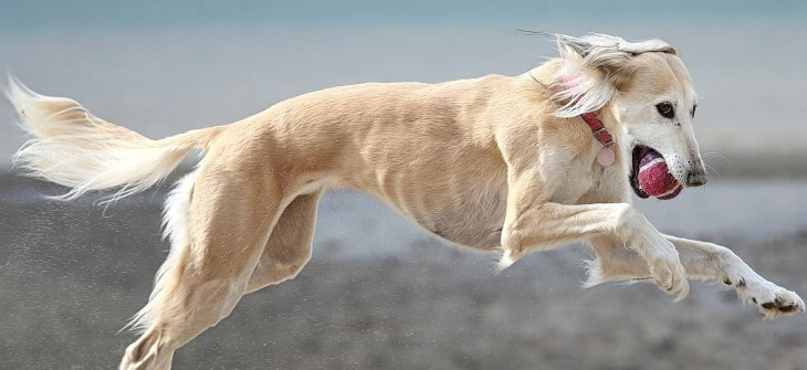 Saluki is Extremely Athletic