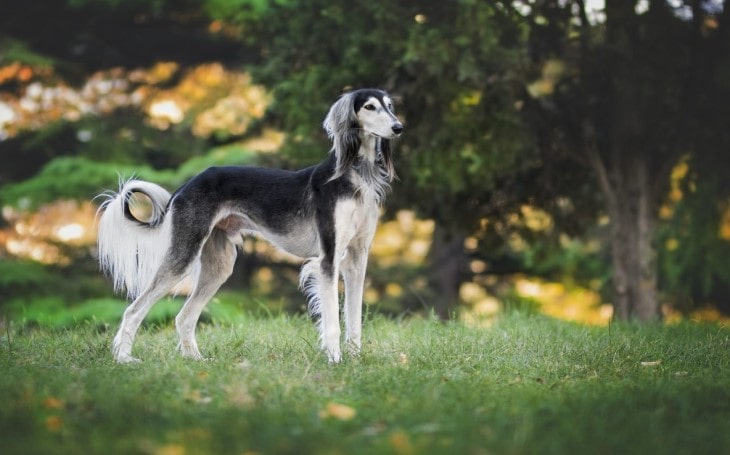 Saluki Is A Tall And Handsome Dog Breed