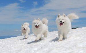 Samoyed personality and temperament