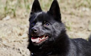 Schipperke temperament and personality