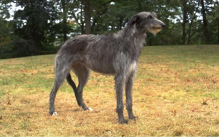 Scottish Deerhound temperament and personality