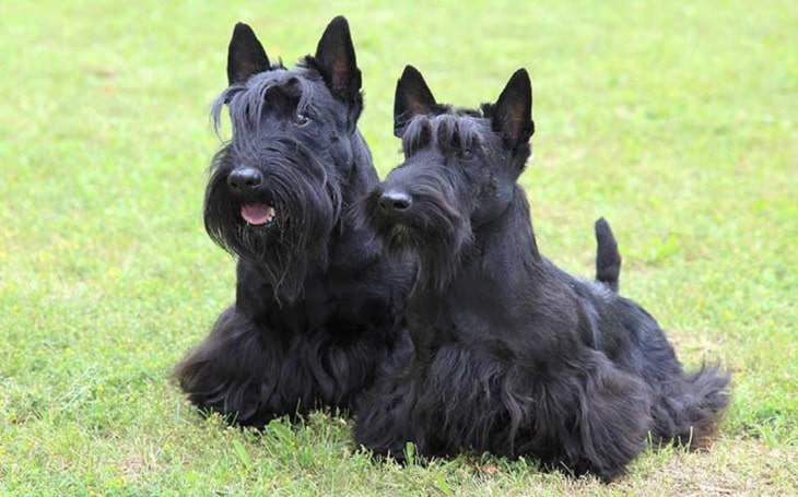 Scottish Terrier personality and temperament
