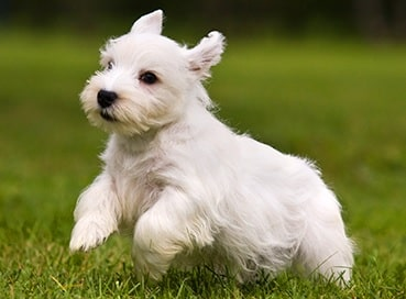 Sealyham Terrier puppy