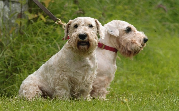 Sealyham Terriers personality and temperament