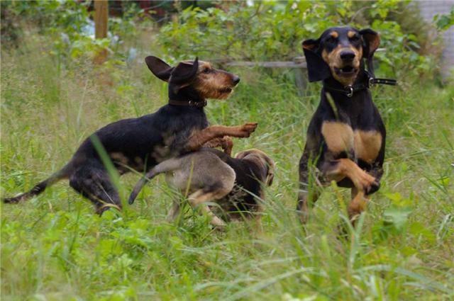 Segugio Italiano puppies playing