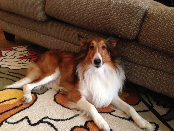 Shetland Sheepdogs ARe Suitable For Apartmemt Living