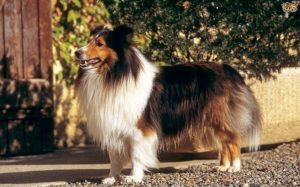 Shetland Sheepdog Are Very Energetic Dog