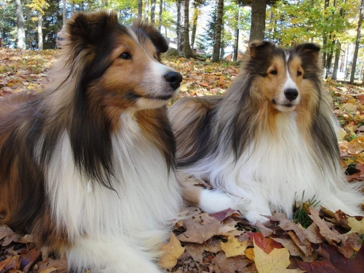 Shetland Sheepdogs Are Easygoing With People They Know
