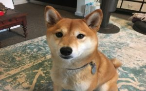 Shiba Inu Is An Active Dog Breed.