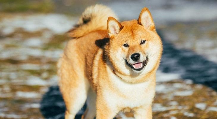 Shiba Inu Are Very Energetic Dogs